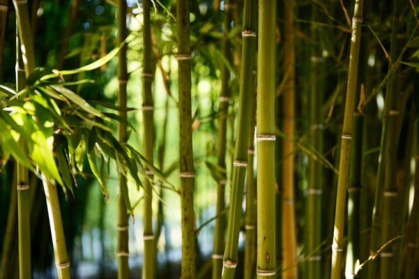 Projeto protocolado na Assembleia Legislativa cria a lei de incentivo à cultura do bambu.