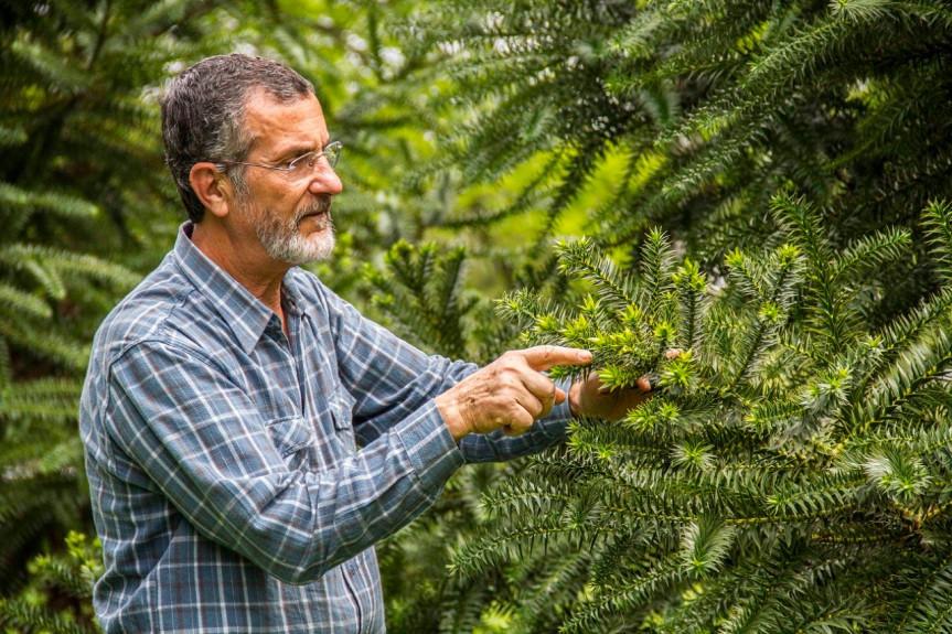 Professor Flávio Zanetti, pesquisador do setor de Ciências Agrárias da Universidade Federal do Paraná (UFPR) e estudioso da Araucaria angustifolia.